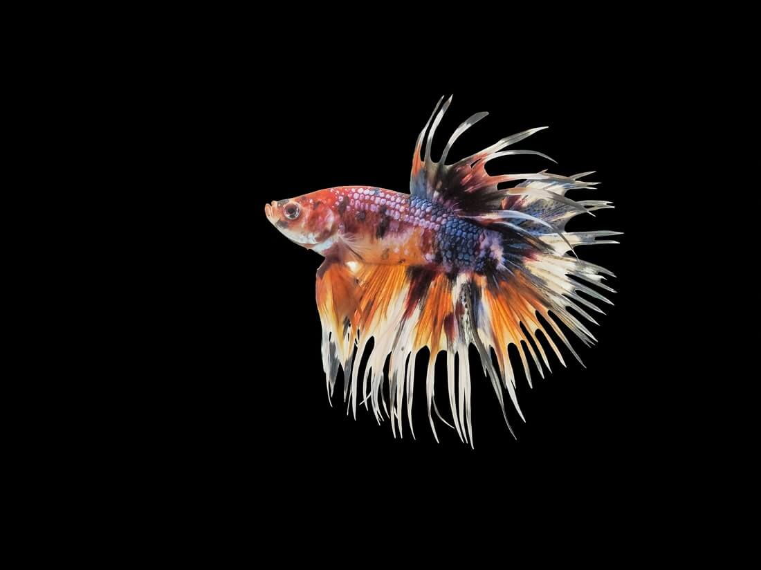 A Crowntail Betta swimming in a freshwater tank