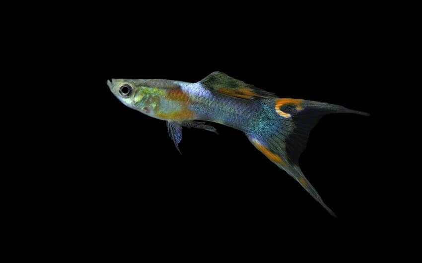 Endler's livebearer fish for a five gallon tank