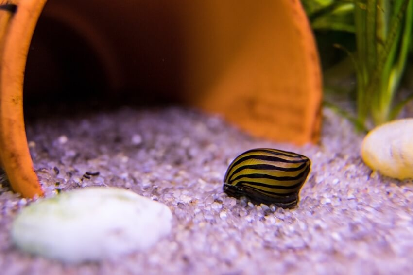 A small nerite snail on the substrate
