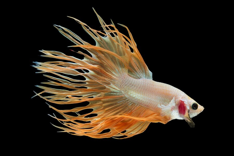 An orange Crowntail Betta fish