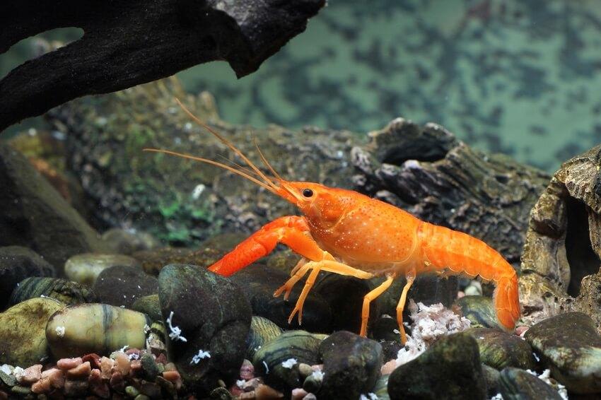 An orange dwarf crayfish
