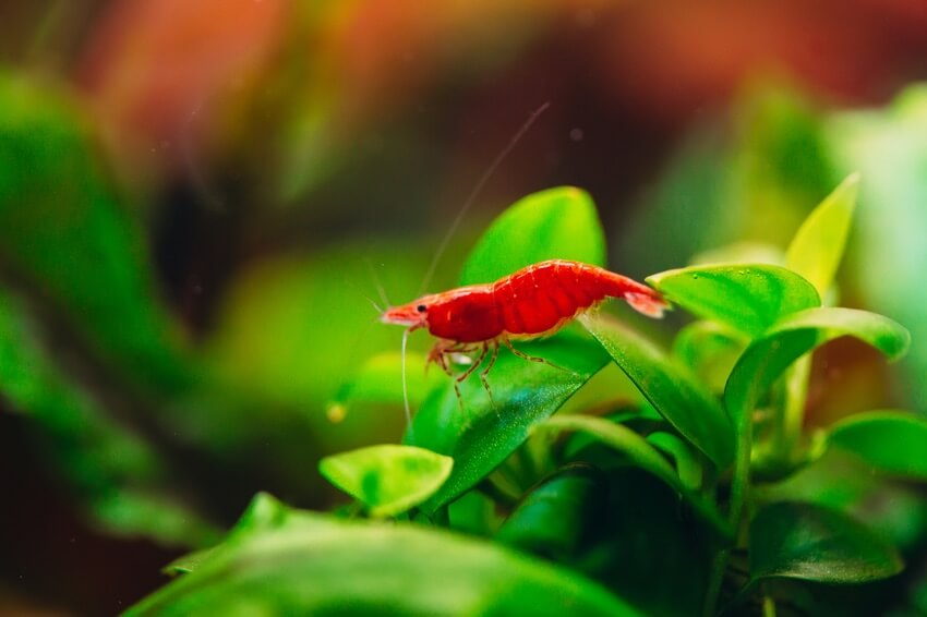Red cherry shrimp looking for food in a five gallon tank