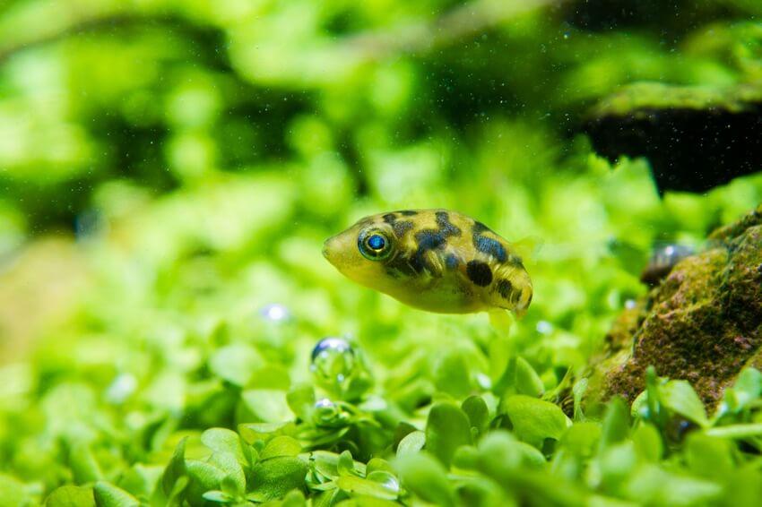 Dwarf pea puffer swimming near the bottom of the tank