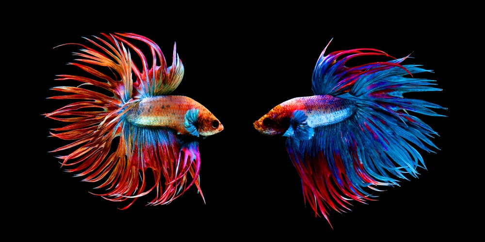 Two Crowntail Bettas facing each other