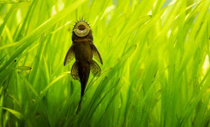 A bristlenose pleco sucking on aquarium glass