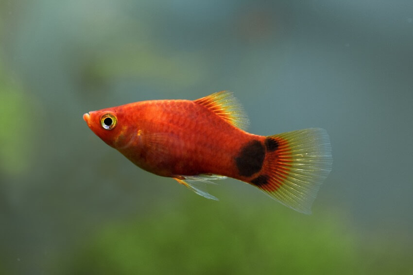 A mickey mouse platy