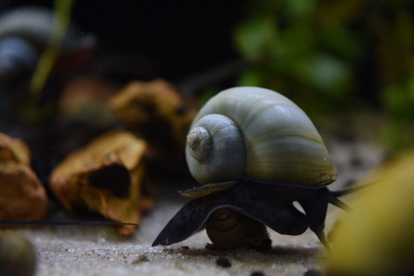 Mystery snail in a dark aquarium