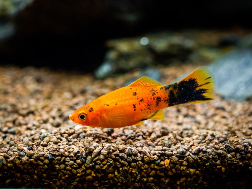 One platy fish looking for food on the substrate
