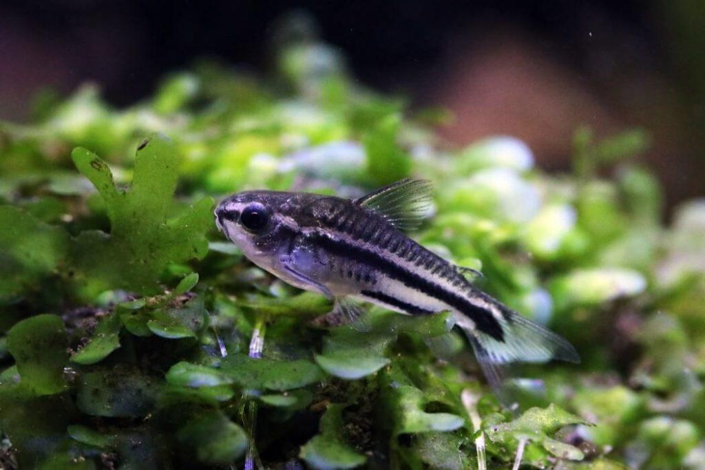 One Pygmy Cory Catfish swimming in a freshwater aquarium