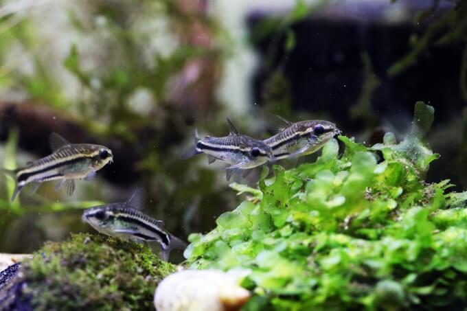 Pygmy Cory swimming next to plants