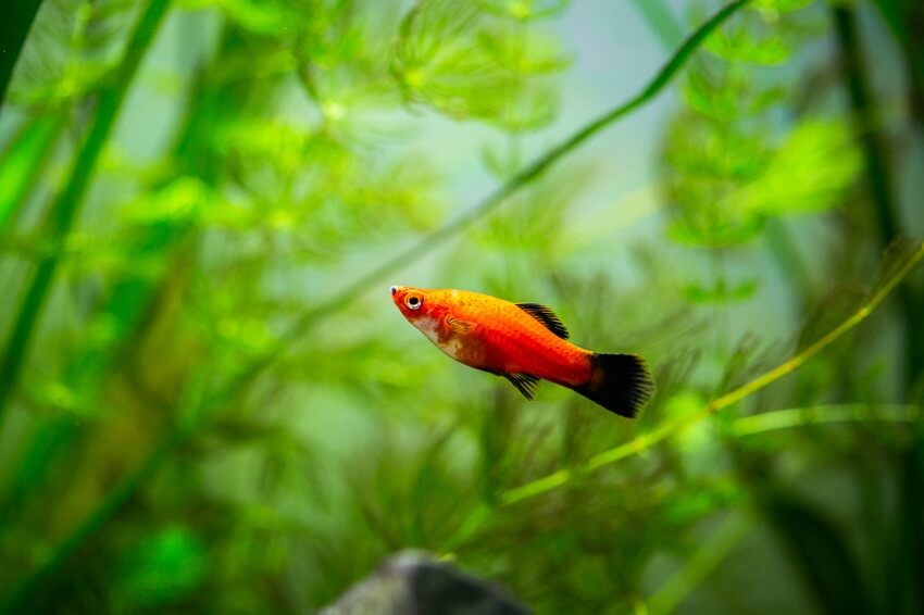 A red wag platy swimming by itself