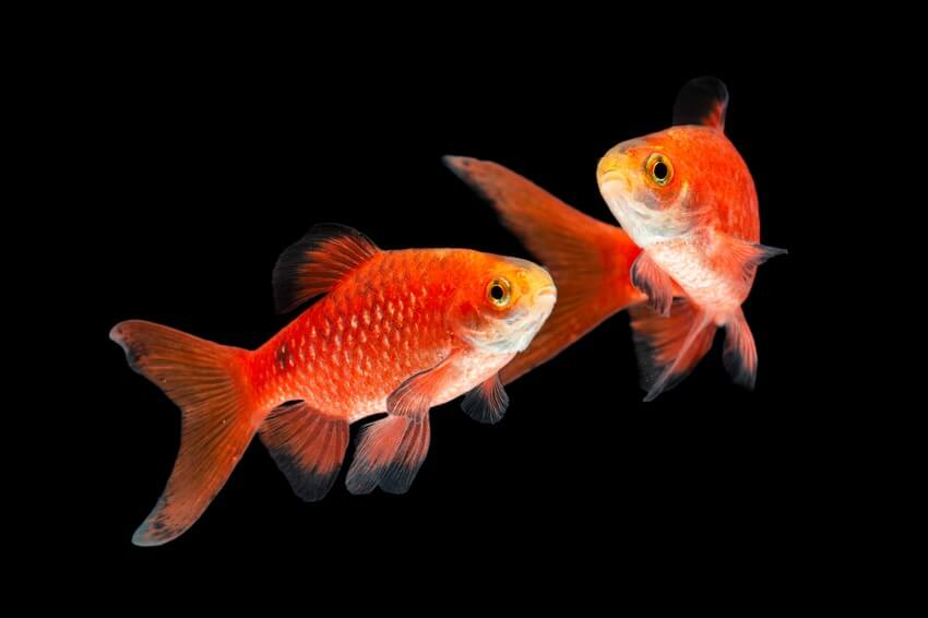 Two rosy barbs being friendly goldfish tank mates