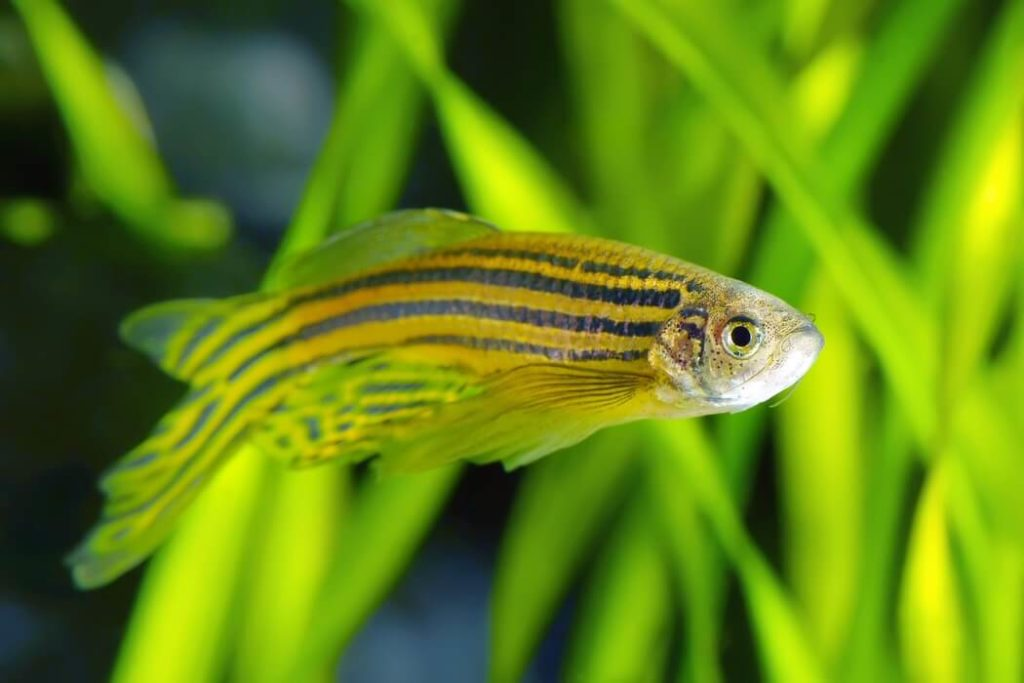 A Zebra Danio freshwater fish