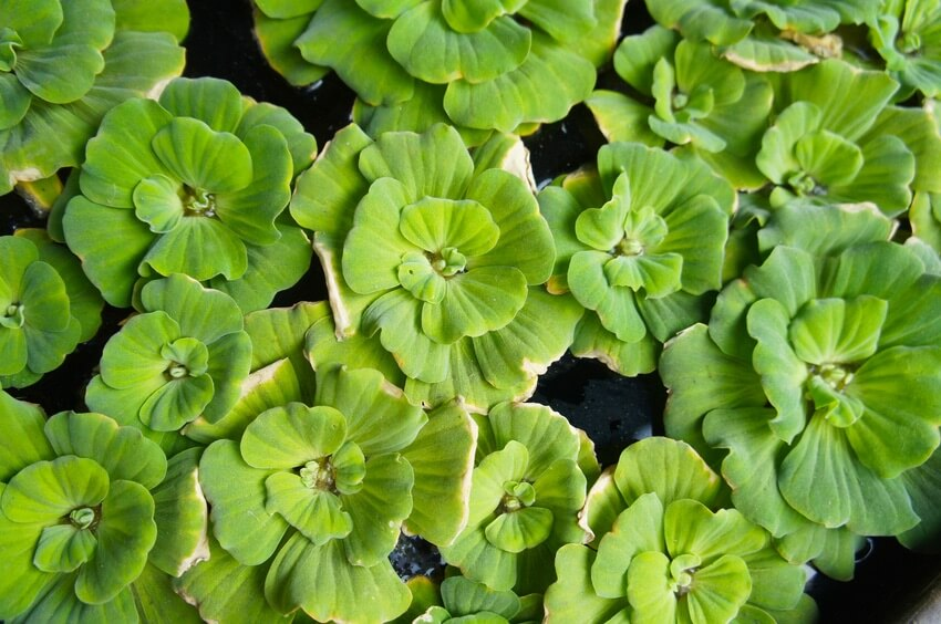 Dwarf water lettuce on the surface of the water