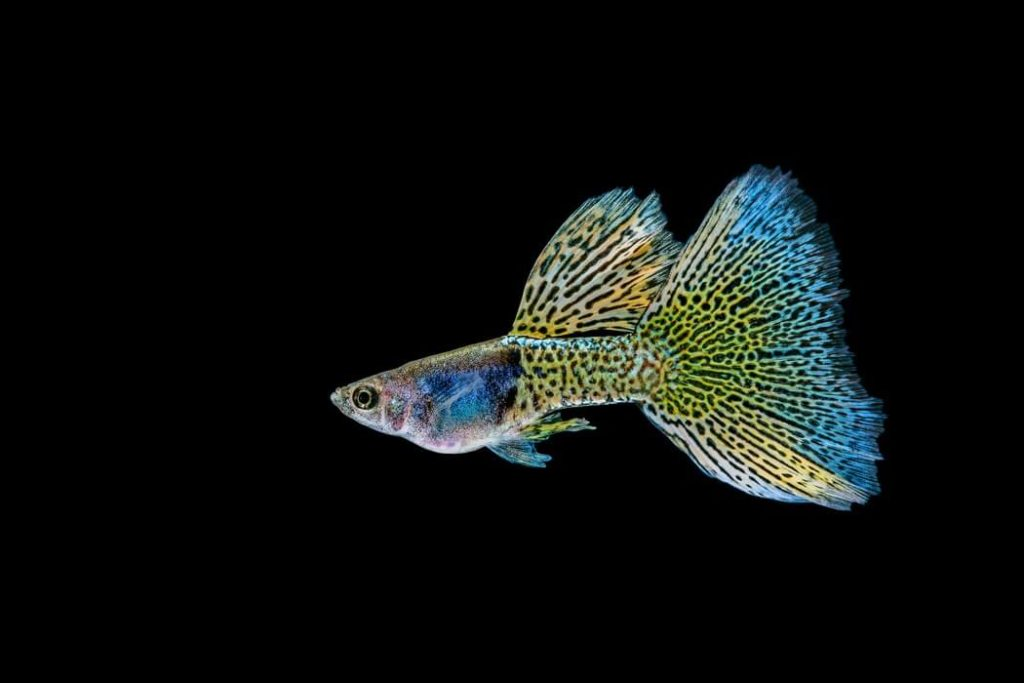 Guppy fish swimming in a large tank