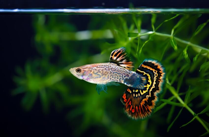 One guppy fish swimming by plants in an aquarium