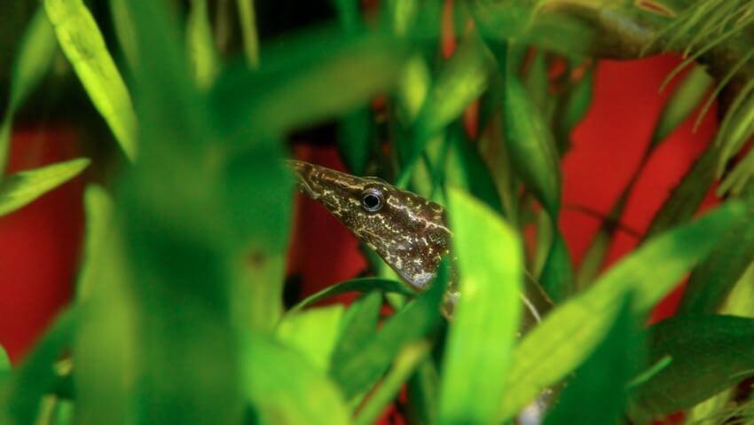 Macrognathus siamensis