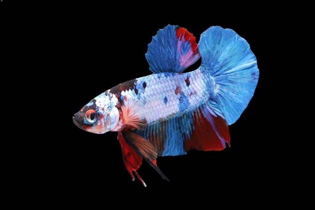 Colorful Plakat Betta fish by itself