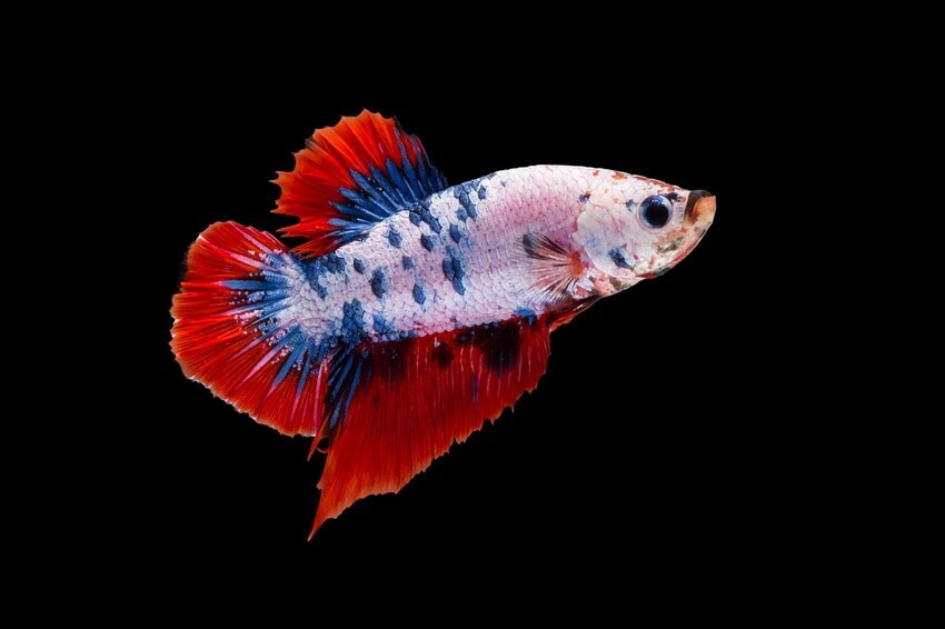 A red and blue Plakat Betta swimming