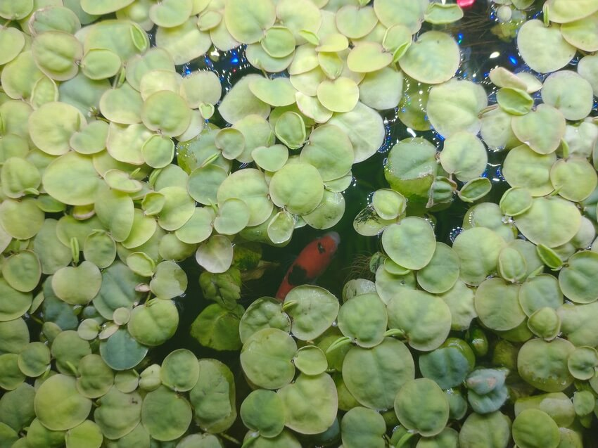 Multiple red root floater aquariums plants with fish swimming underneath