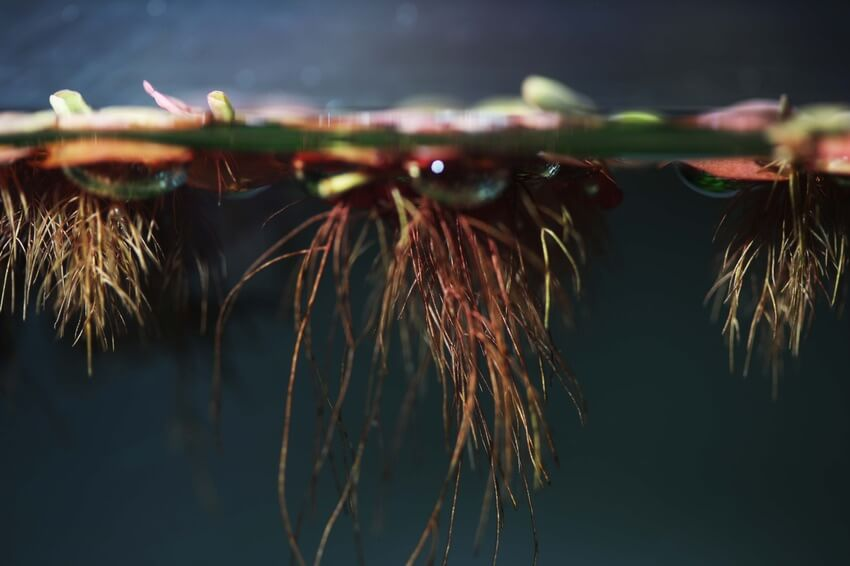Red root floater plant in a freshwater tank