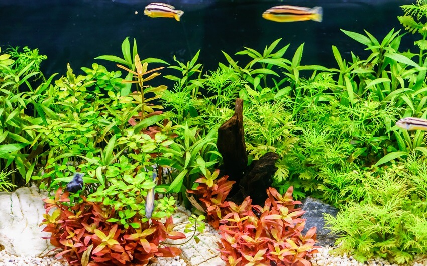 A Rotala indica aquarium plant