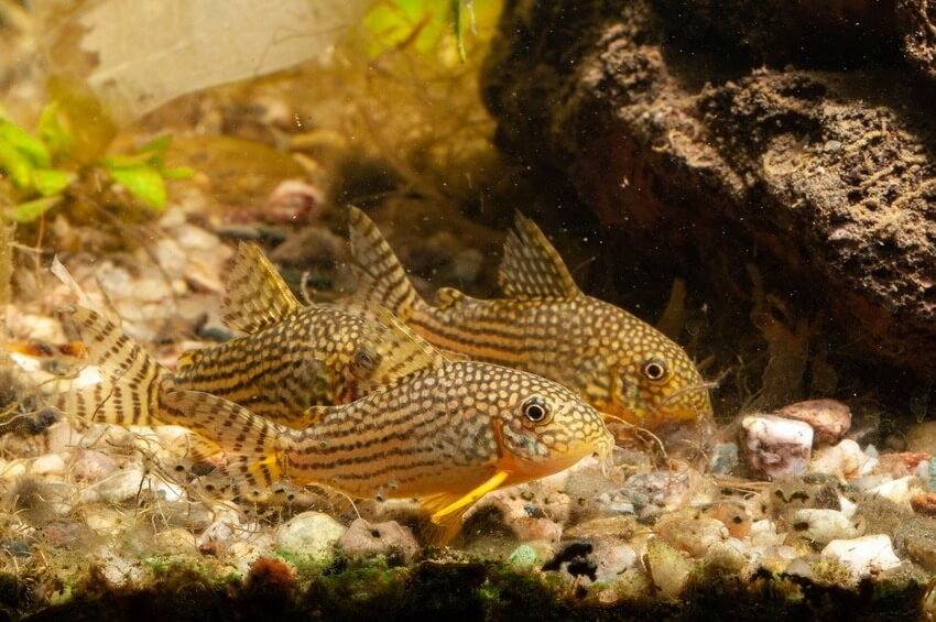 Three Sterbai Cory catfish