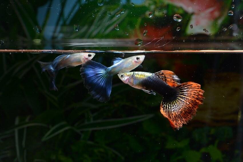 Three guppies swimming together