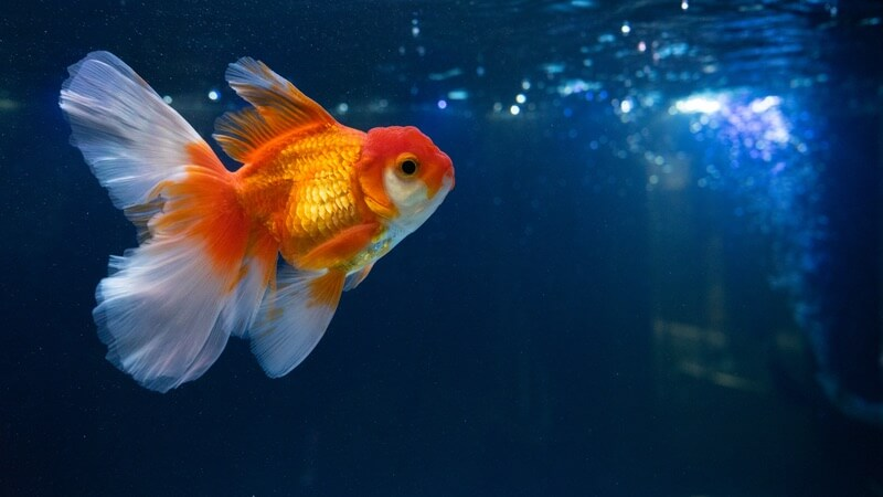 One goldfish in a big clean pond