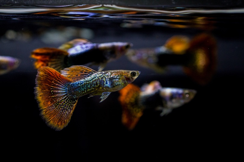 A few guppy fish swimming together and looking for food