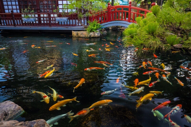Many koi fish in a large pond