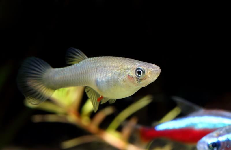 Mosquitofish in a deep pond