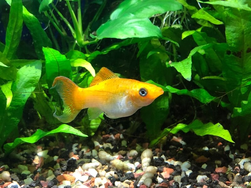 One yellow molly fish