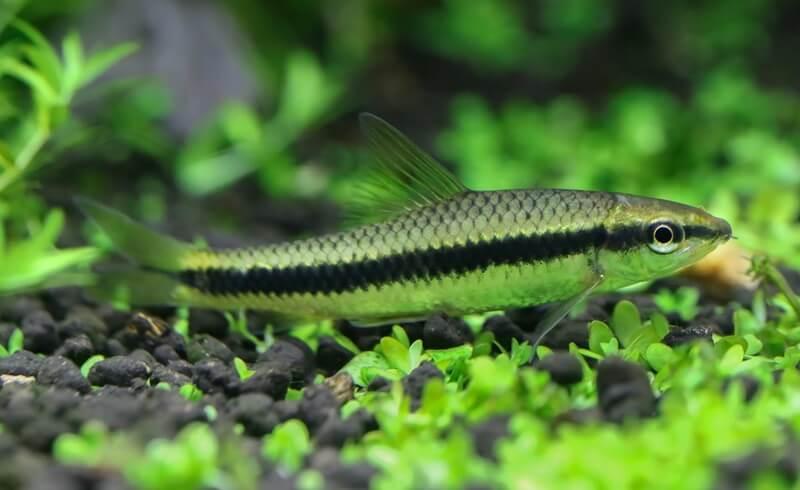 The Siamese algae eater pond fish species
