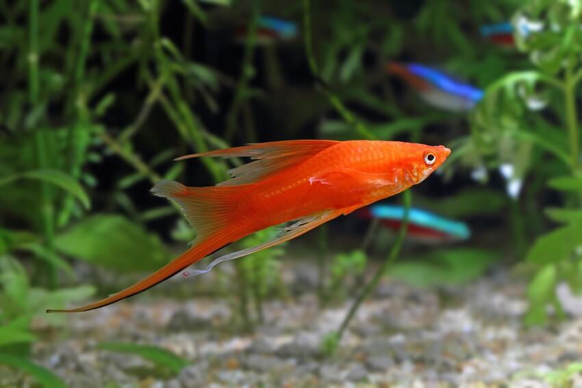 A male swordtail fish