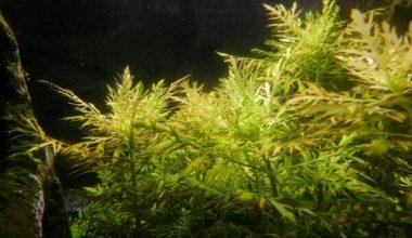 A few water sprite plants