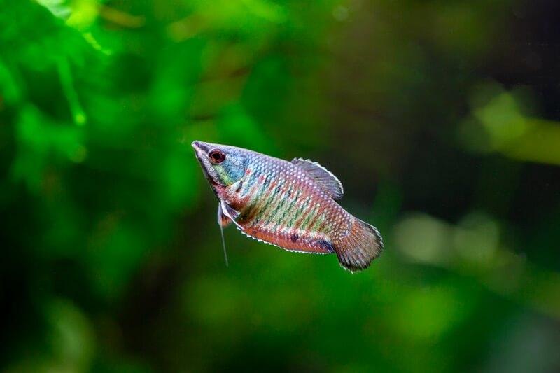 One gourami labyrinth fish