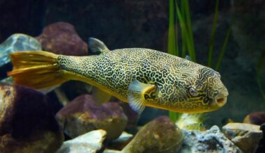 One Mbu puffer fish in a freshwater tank