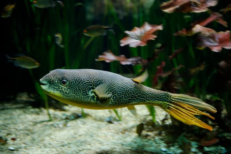 An Mbu puffer swimming by itself