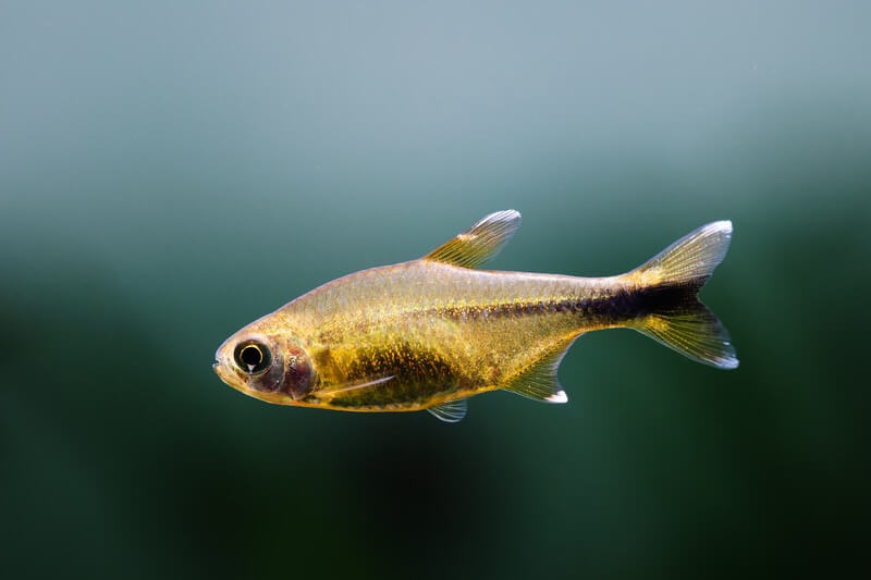 A silver tip tetra swimming in a freshwater aquarium